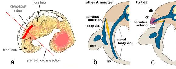 Odontochelys semitestacea