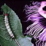 Heliconius_passiflora