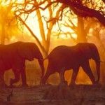 elephant-bulls-at-sunset