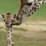 giraffes_family