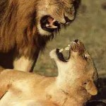 lion_mating1