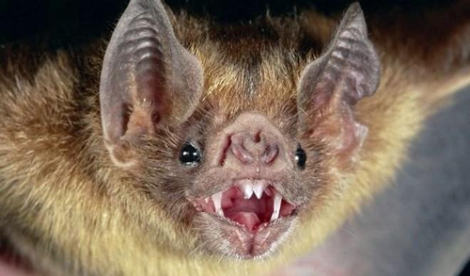Vampyrus spectrum
