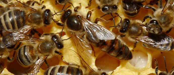 bees queen