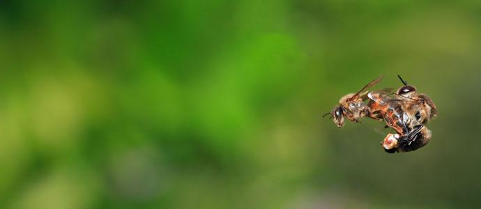 bees mating