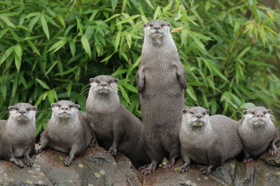 group of Oriental small-clawed otters - London Zoo's