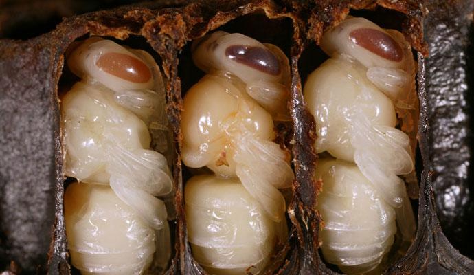 larva bee