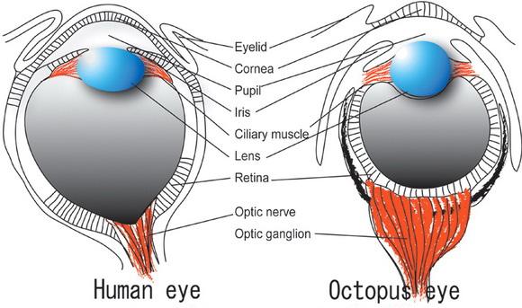 Octopus Human eyes