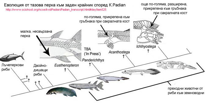 Pelvic fin to hind limb