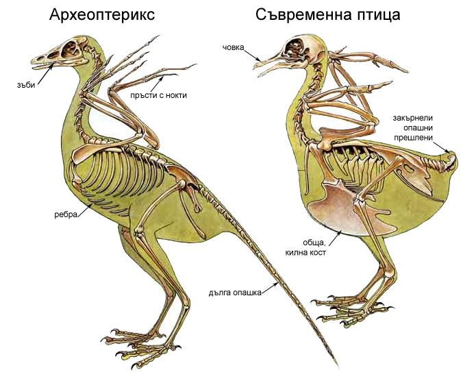Археоптериксът стана своеобразен символ на верността на дарвиновата теория за еволюцията, негов отпечатък е намерен само две години след публикуването на   Дарвиновия «Произход на видовете»