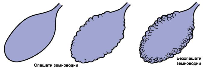развитието на примитивен бял дроб при земноводните