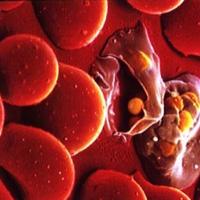 Малариен плазмодий в човешки еритроцити. Снимка от www.iayork.com)