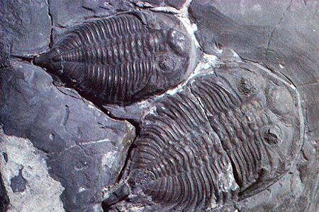trilobith