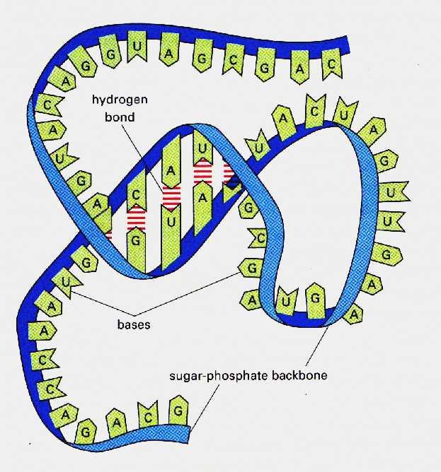 РНК и ДНК свят