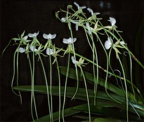 Angraecum longicalca